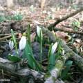 Die ersten Frühlingsboten - Schneeglöckchen in den Auen in Hainburg | Foto: DerGloeckel.eu